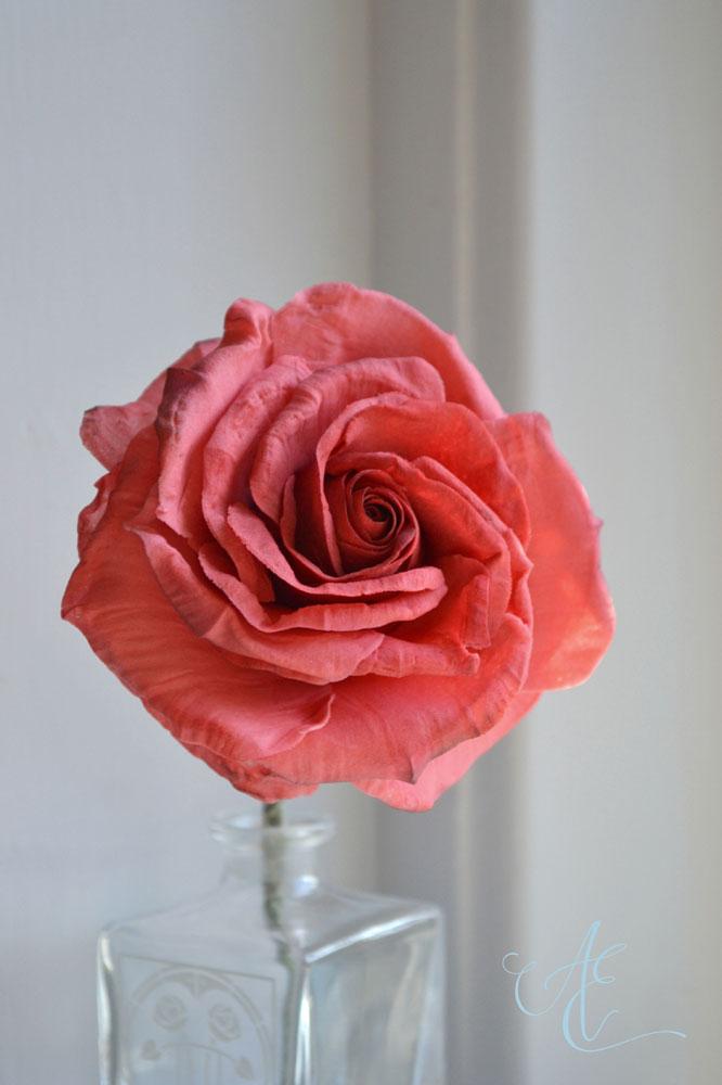 coral red sugar rose