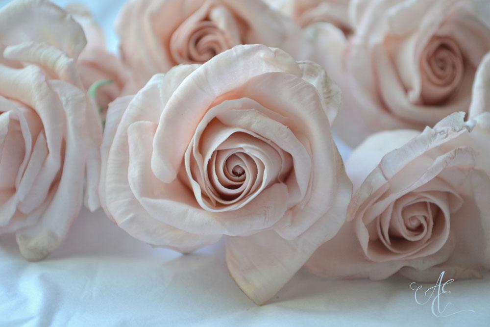 blush sugar rose close up